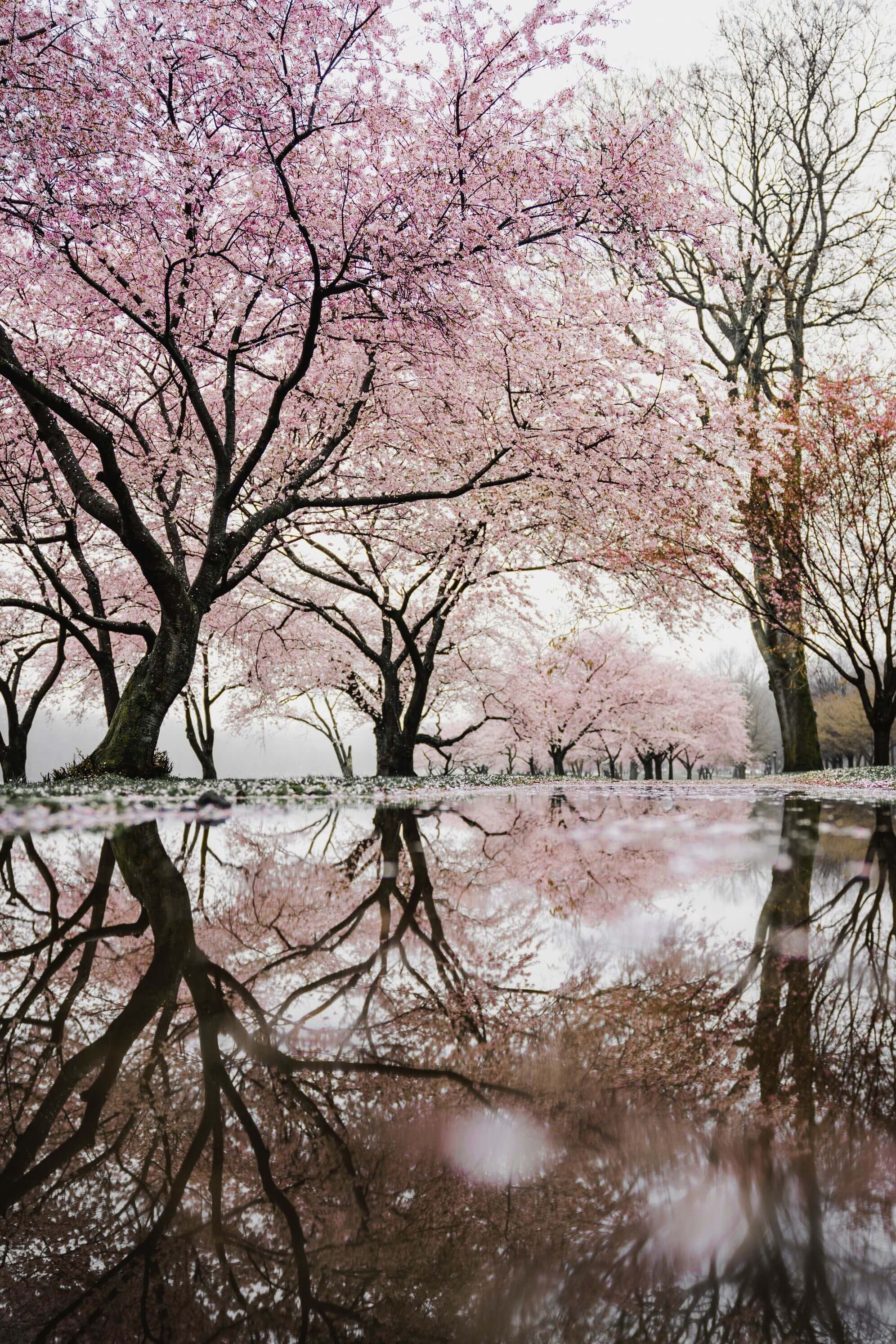 Cherry Blossoms Inspiration